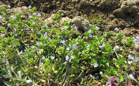 春到来を意識するのは、桜よりも、実は、この青い花「オオイヌフグリ」。/3/28=旧3/1・甲寅・新月!