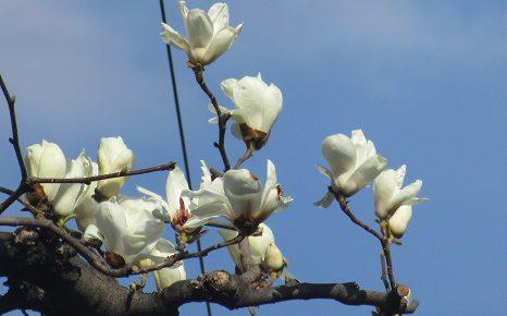 木の芽時の花芽観察。「白木蓮」の花芽がふかふか膨らみ...あら、もう咲いた?/3/14=旧2/17・庚子