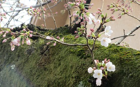 七十二候は「櫻始開(さくらはじめてひらく)」に。東京の標本木開花は、21日だったけど、私の標本木は?/3/26=旧2/29・壬子