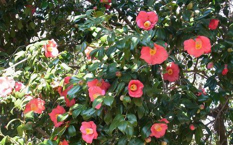 藪も乙女も、椿が満開。地味に咲き、長く咲き、散ってさらに地面で咲く。そのしつこさが好き。/4/2=旧3/6・己未