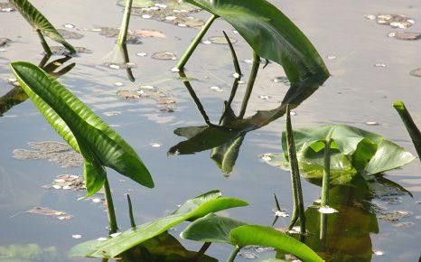 七十二候は「葭始生(あしはじめてしょうず)」。水辺にも春...ということで、池の芽生え観察をっ!/4/21=旧3/25・戊寅