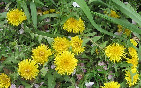 染井吉野が散り桜になった今頃、俄然、存在感を醸すのが、この黄色、タンポポの黄色!/4/14=旧3/18・辛未