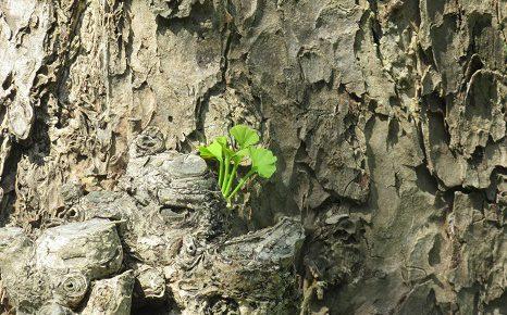 七十二候は「霜止出苗(しもやみてなえいづる)」に。油断ならない「霜」も止み、苗の芽生え...。東京では銀杏の芽生え。/4/25=旧3/29・壬午