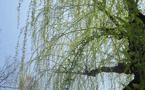 二十四節気は「清明」に。古い解説によれば「此芽は何の草としれるなり」という頃ですが、確かにっ!/4/4=旧3/8・辛酉
