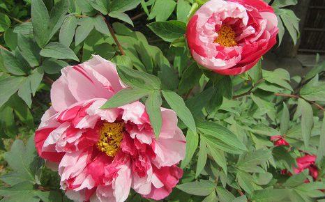 七十二候は「牡丹華(ぼたんはなさく)」に。花の頃の短い牡丹は、ホントに今を逃せない見ごろ。/4/30=旧4/5・丁亥