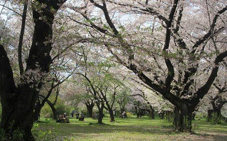 私のベスト・オブ・桜景色は、ここ 小石川植物園の桜並木。もしや散り桜の今のほうが美しくない?/4/13=旧3/17・庚午