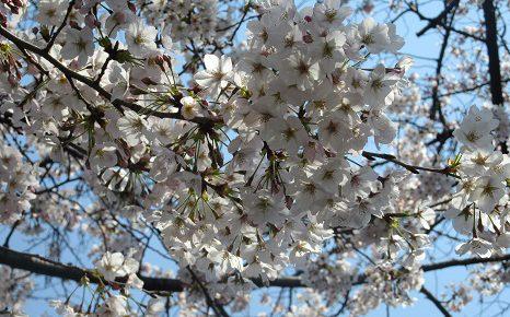 さあさ、立春から60日目を過ぎて、江戸人に倣えば一重桜の見ごろ。染井吉野の様子はどうだ?/4/6=旧3/10・癸亥