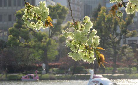 立春から70日を過ぎて、さてさて、桜リレーは八重にバトンを渡したかな?/4/16=旧3/20・癸酉