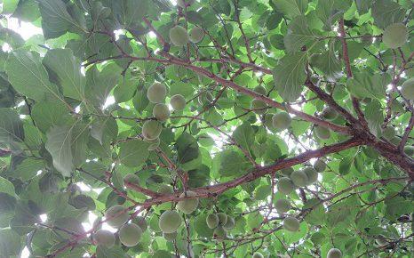 今日は、二十四節気「小満」。木々にも、小さな実のりの季節です。例えば青梅。/5/21=旧4/26・戊申