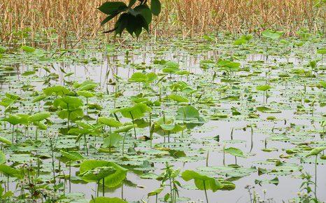 蓮の芽吹きが初々しすぎ、美しき上野の不忍池。いや、マジでっ!!/5/20=旧4/25・丁未