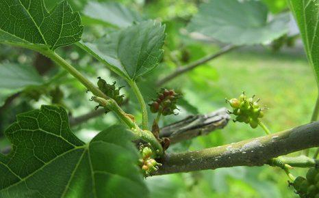 七十二候は「蚕起食桑」に。「蚕」は無理でも、「桑の葉」繁る樹ならあるかな?青実もなるころ。/5/22=旧4/27・己酉
