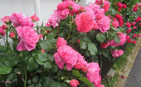 薔薇よ!はっと気づけば、いきなり咲き乱れてる?雑草ばかり気にして盛りを逃すとこでしたっ!/5/14=旧4/19・辛丑