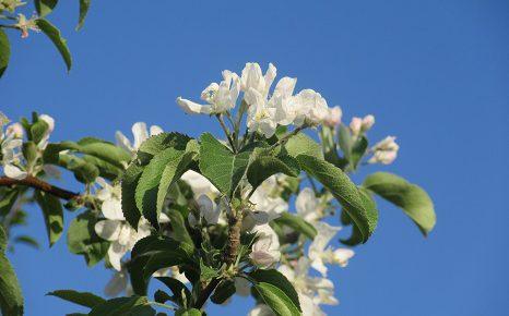 初夏の休みの七十二候は「牡丹」と「蛙」。福島ではそこに「林檎の花」を足してみたい。今が満開!/5/7=旧4/12・甲午