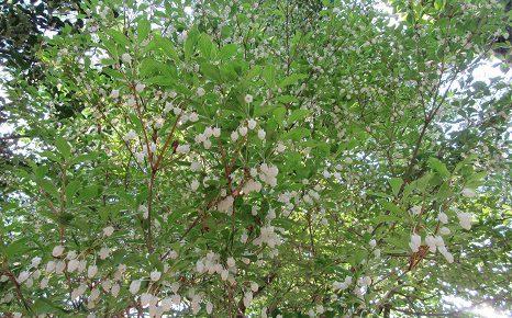 「みどりの日」ですが、季節の白い花を集めてみました。/5/4=旧4/9・辛卯