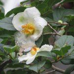 白い「夏椿」咲く。鴎外の庭にも咲いたら、眺めつつお茶…とささやかな予定を入れた。/旧暦5/15・丁卯
