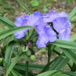 梅雨入り後も、爽やか目の東京で、勢い「雨の七草」探し。ひとつめは「紫露草」。/旧暦5/24・丙子