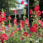 太陽が似合う華やかさで、梅雨の花。「雨の七草」3つめは、街並みになじむ「立葵」。/旧暦5/29・辛巳