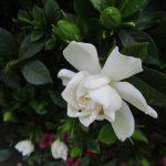 七十二候「腐草為螢」の時期は、勝手七十二候「梔子白」としてたっけ!咲いてるかな?/旧暦5/21・癸酉