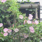 七十二候「乃東枯」のころに咲く花を「雨の七草」ふたつめに決めた。/旧暦5/28・庚辰