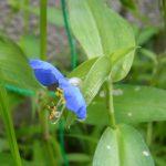 「雨の七草」の4つ目は、「露草」、「露草」、そして「露草」。/6/24=旧・閏5/1・壬午・新月!