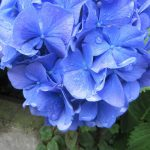 紫陽花が存在感を増したら、梅雨入り。リアルは東京が数日前、今日は雑節の「入梅」。/旧暦5/17・己巳