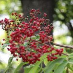 可愛いブローチが実ってる? 「接骨木(にわとこ)」の赤い実、青い実。/6/8=旧5/14・丙寅