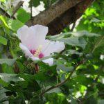 今日は、夏土用入。夏の日差しの中で咲く木槿(むくげ)に、しばし涼を感じ!/旧暦・閏5/26・丁未
