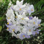 七十二候は 「桐始結花」に。暦がこう言うとピンとくるのはこの花「つるはななす」。 /7/24=旧6/2・壬子