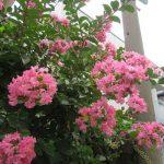 いよいよ「百日紅」も勢いを増す。花のころは長いけど、巨木にたっぷり咲く様は今だけかも?!/7/26=旧6/4・甲寅
