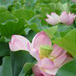 東京は、上野の不忍池の近くに住めば、七十二候に「蓮花栄」なんてのがあってもいいなと思う。/7/30=旧6/8・戊午