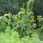 福島の夏。母の裏庭は向日葵咲き放題、夏野菜なり放題。いい加減に育てて、豊かに咲く実る。/8/12=旧6/21・辛未