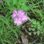 秋の七草ふたつめは、もはや咲いてないかも…の撫子。しかたないので、花屋の店先で垣間見る。いや見ない(-_-;)。/旧暦7/10・庚寅