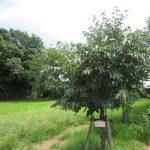 この樹は特別な「長崎の柿の樹」。今日8月9日の長崎の日に、たわわに希望を実らせてくれています。/旧暦6/18・戊辰