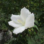 「白木槿」に白い「百日紅」が最後にひっそり咲いて、去りゆく夏…のはず。もう残暑とかいいから…。/旧暦7/14・甲午