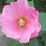 「芙蓉」が咲き誇って、いよいよ夏花も最後かなぁ。といっても、まだ実感としては夏来たらず、雰囲気は梅雨の晩夏ですが😊。/旧暦6/28・戊寅