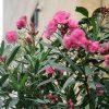 夾竹桃の赤い花咲く今頃は。その花を市の花とした「広島の日」。/8/6=旧6/15・乙丑
