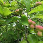 七十二候「禾乃登」は、穀物の実りの時期というけど、ほかにもひっそり面白い実りいろいろ。/9/3=旧7/13・癸巳