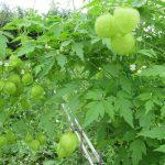 盆帰省の帰京土産をもうひとつ。母の庭から、伸び放題の風船葛の花と実を少し。/8/17=旧6/26・丙子