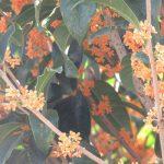 金木犀に銀木犀…そういや東京では見ないなぁ…と思ったら、もう花の時期去りぬ?。あらら、マジ?/旧暦8/13・壬戌