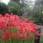 秋彼岸の入りに「曼珠沙華」。吉事が起こる兆しの花でもあって…ああ、だから赤も白も満開。/旧暦8/1・庚戌