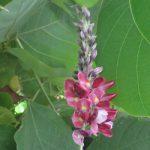 「秋の七草」王道に戻して、「葛の花」!…草っていうには堂々しすぎに育ち放題な葉っぱの中、咲いています。/旧暦7/24・甲辰