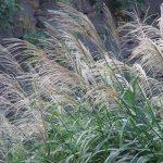 「秋の七草」の「尾花」は、いまなら道端でも見かける「薄(すすき)」のこと、あっ「芒」とも書くね。/旧暦7/29・己酉