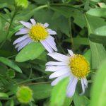 七十二候は「菊花開」に。花屋の菊の充実度が上がるとともに、野草の小菊たちが咲き始める時期でもありますね。/旧暦8/24・癸酉