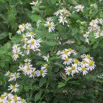 今日は、旧暦重陽の節句。…で、この日に向けて「野菊」探しを再びってことで、皇居の庭を廻ってきました。/旧暦9/9・戊子