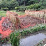七十二候は「水始涸」に。母の住む東北は、稲刈りにそなえて田んぼの水を落とす季節。東京の馴染みの田んぼは稲刈り終了です!/旧暦8/16・乙丑