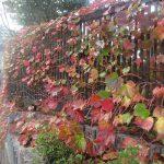 七十二候は「楓蔦黄」に。わが身は東北の街にて、色づく蔦(つた)に遭遇。紅葉狩りの季節ももうすぐそこかぁ…。/旧暦9/14・癸巳