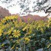 冬告げ花がまた満開、石蕗の花。そして桜の紅葉。…となればいずれか庭園・公園にも行ってみたく。/旧暦9/29・戊申
