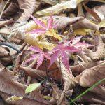 七十二候は「朔風払葉」に。暦が言う、木枯らし吹いて樹々の葉を払う日々は、大地が木の葉で彩られる頃でもありますね。/旧暦10/10・戊午・上弦