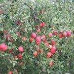 """今年のりんごは大豊作の予感?柿は、豊作すぎて、もはや食べすぎ""""(-""""""""-)""""in福島。/旧暦9/17・丙申"""