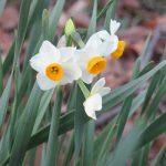 七十二候は「金盞香」咲く。「金盞」は黄色い冠咲かす「水仙」のこと…が、実はまだ😞。写真眺めて待つことしばし…だね。/旧暦10/4・壬子